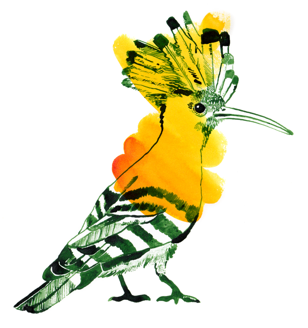 Wiedehopf Illustration mit gruener und oranger Tusche gezeichnet
