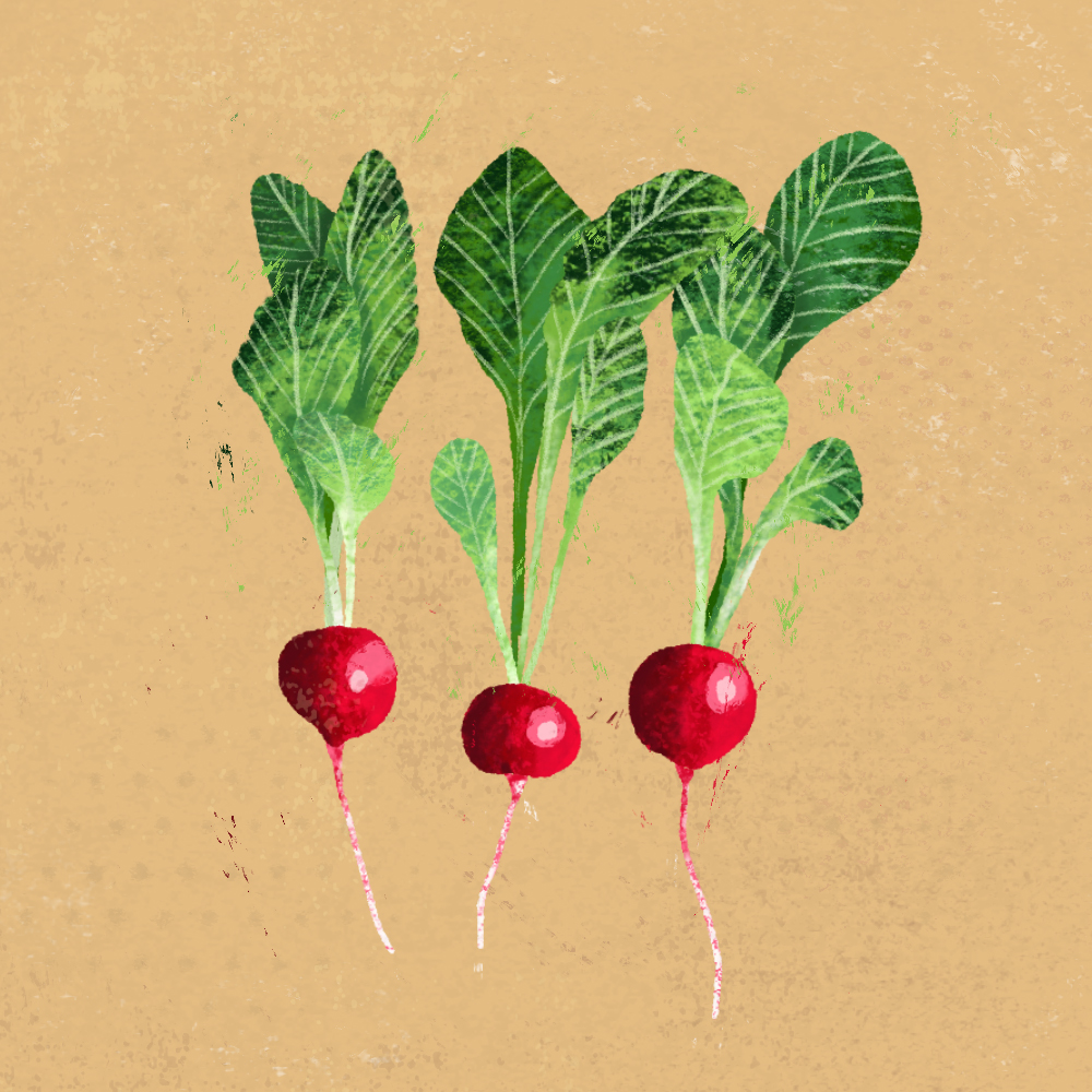 sarah chand food illustration radieschen (digitale illustration)